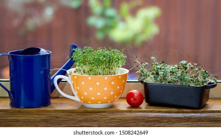 Authentic tea cup and butter dish used for growing fresh cress and mustard salad greens in kitchen window, alternative to plastic pots in sustainable kitchen,  reuse, recycle, upcycle concept