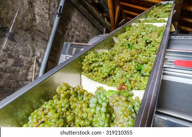 Automatic conveyor for grape bunches into the press, wine producing