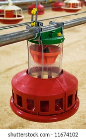Automatic feeding trough on a modern integrated poultry farm