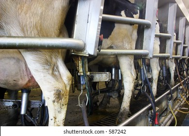 Automatic milking machines on cow udders in a dairy farm