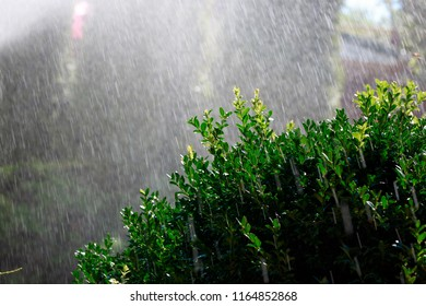 Automatic watering of the garden of a private house in the early morning, boxwood Bush in the foreground