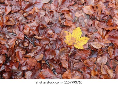 Autum fallen leaves and maple leaf - detail