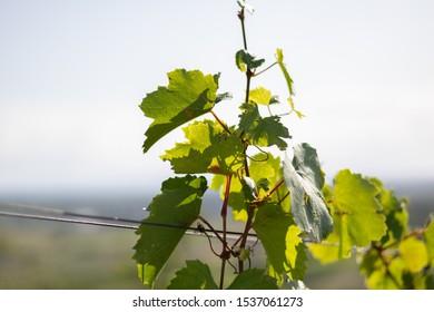 autum view wineyard sunny grapes