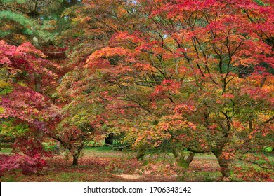 Autumn Acer Woodland Reds and Golds