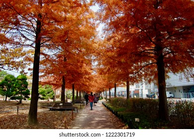 The autumn alley of Taxodium distichum (bald cypress,cypress, white-cypress, tidewater red) in a bright red.