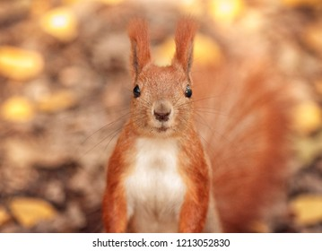 Autumn, amusing squirrel, hello from the forest, are there any nuts?  A squirrel takes a walnut from his hand in the forest. Season, squirrel, nut, funny, sweet