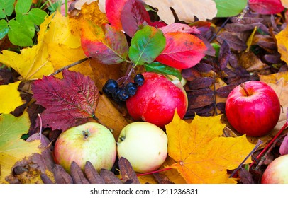 Autumn apples in autumn leaves. Autumn apples decoration scene. Autumn apples leaves top view