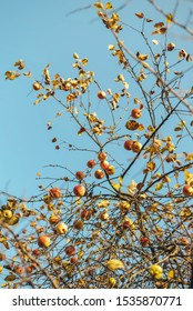 autumn apples on a blue sky background