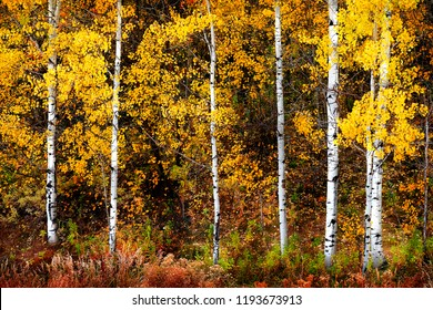 Autumn aspen trees fall colors golden leaves and white trunk bark