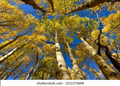 Autumn Aspens, Colorado