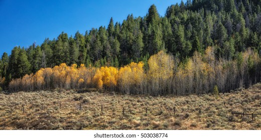 Autumn aspens and pine trees under a clear blue sky in Wyoming USA.