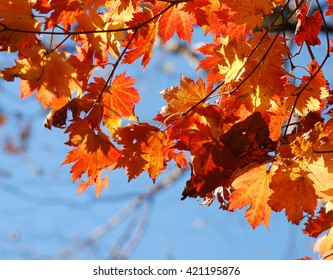 Autumn, autumnal maple leaves, red leaves against blue sky