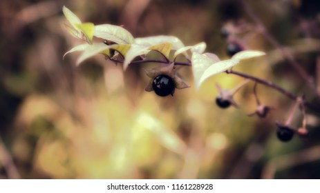 Autumn background with beautiful light and pleasant colors. Detail of black berry of poisonous plants - belladonna, deadly nightshade. Soft focus, beautiful bokeh.