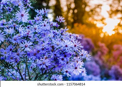 Autumn background with blue asters at sunset.  Brachyscome multifida var. dilatata  ( Cut-Leafed Daisy, rocky daisy or Hawkesbury daisy ) flowers in woodland.  Symphyotrichum novi-belgii 'Purple Dome'