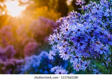 Autumn background with blue asters at sunset. Brachyscome multifida var. dilatata, Cut-Leafed Daisy, rocky daisy or Hawkesbury daisy  flowers, Symphyotrichum novi-belgii 'Purple Dome' Michaelmas daisy