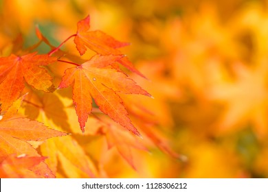 Autumn background with colored maple leaves. Yellow theme.