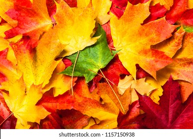 Autumn background with colored marple leaves. Fall leaves texture.