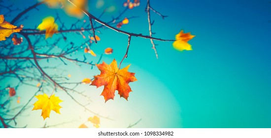 Autumn background. Last maple leaf on a branch against a blue turquoise sky background glows in the sun close-up in nature outdoors. Autumnal pattern, copy space.