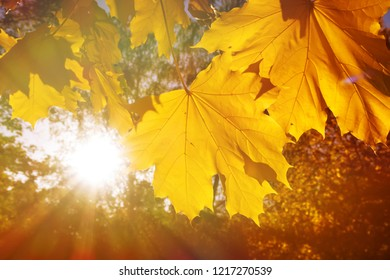 Autumn Background Maple Leaf close up and Sun Beams