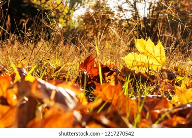 Autumn Background Maple Leaf close up on a meadow