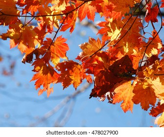 Autumn background, maple leaves, red autumnal foliage against blue sky