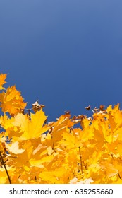 Autumn background. Maple tree with yellow leaves and blue sky