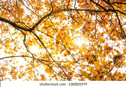 Autumn background of orange maple leaves tree with bright light, Ant view of Maple tree in forest park on sunny day autumn, A beautiful background for autumn decoration