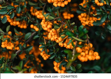 Autumn background with orange ripe sea buckthorn,Hippophae rhamnoides,seasonal garden plants for health. Sea buckthorn organic berries background.Template for design. Medical plant.Copy space.