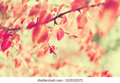Autumn background. Pear tree branch with bright red leaves.