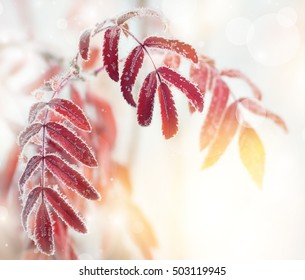 Autumn background with red leaves of mountain ash covered with hoarfrost