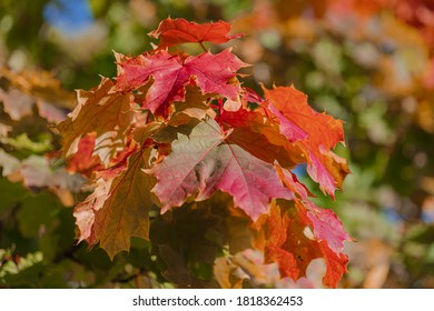autumn background, red maple leaves, close-up.