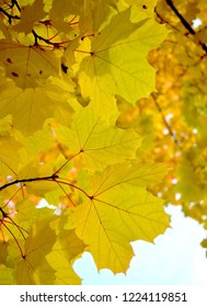 Autumn background: transparent yellow maple leaves with veins