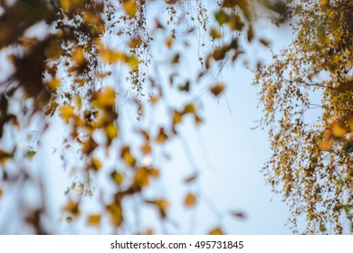 Autumn background of yellow leaves on the trees