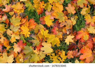 Autumn, bakground  with color leaves. Red, yellow and orange maple leaves.