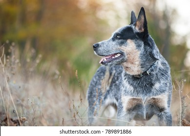 Autumn beauty portrait of Australian cattle dog