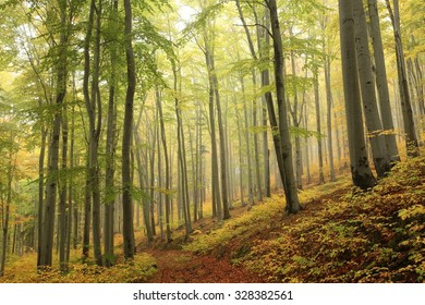 Autumn beech forest with mist in the distance.