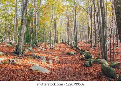 Autumn Beech Forest in the Montseny Natural Park, Catalonia
