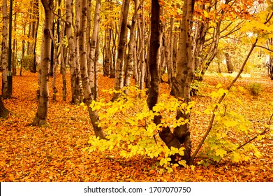autumn beech forest in Podhale,tatra