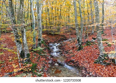 Autumn Beech Forest wirh Creek Across in the Montseny Natural Park, Catalonia