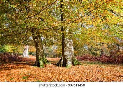 Autumn Beech trees at Bolderwood in the New Forest