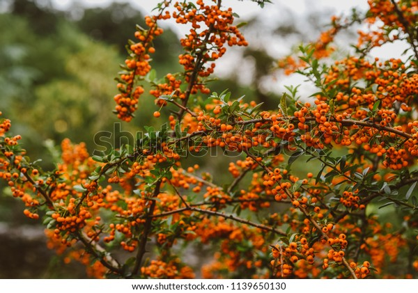 Autumn Berries Leaves On Blurred Trees Stock Photo Edit Now