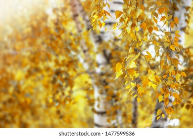 Autumn, birch branches in sunlight