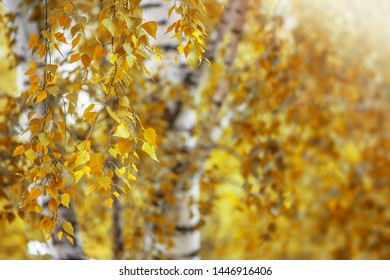 Autumn, birch branches in sunlight, natural background in autumn colors with copy space