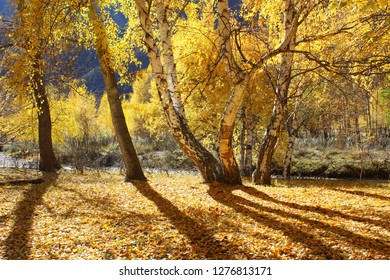 Autumn birch forest in Altai mountains.
