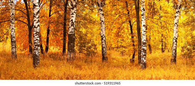 Autumn birch forest landscape.Nature season background