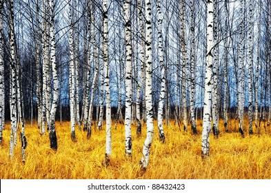 A autumn birch grove among orange grass