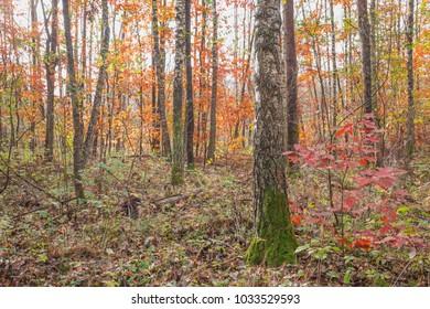 Autumn in a birch grove.Nature in the vicinity of Pruzhany, Brest region,Belarus.
