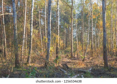 Autumn in a birch grove.Nature in the vicinity of Pruzhany, Brest region, Belarus.