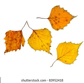 Autumn birch leaves isolated ont white background