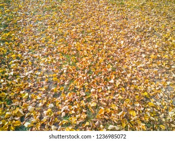 Autumn birch leaves on lawn background